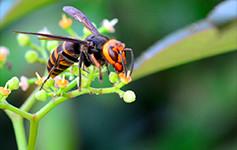 各ハチの危険度がわかる!スズメバチ属7種類を見分ける方法