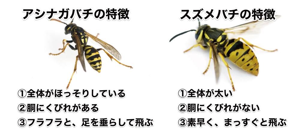 アシナガバチは全体的に細く、胴にくびれがあり、ふらふらと足を垂らして飛ぶ。スズメバチは全体が太く、胴にくびれがなくて、素早く真っ直ぐ飛びます。