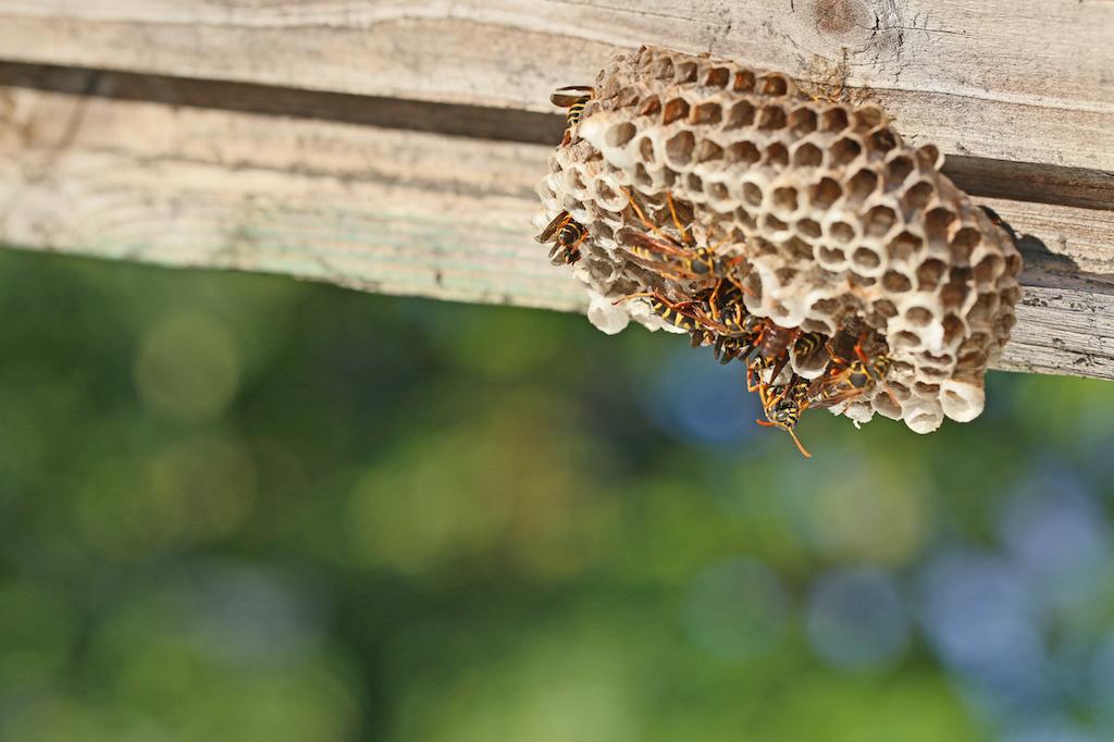 アシナガバチの巣