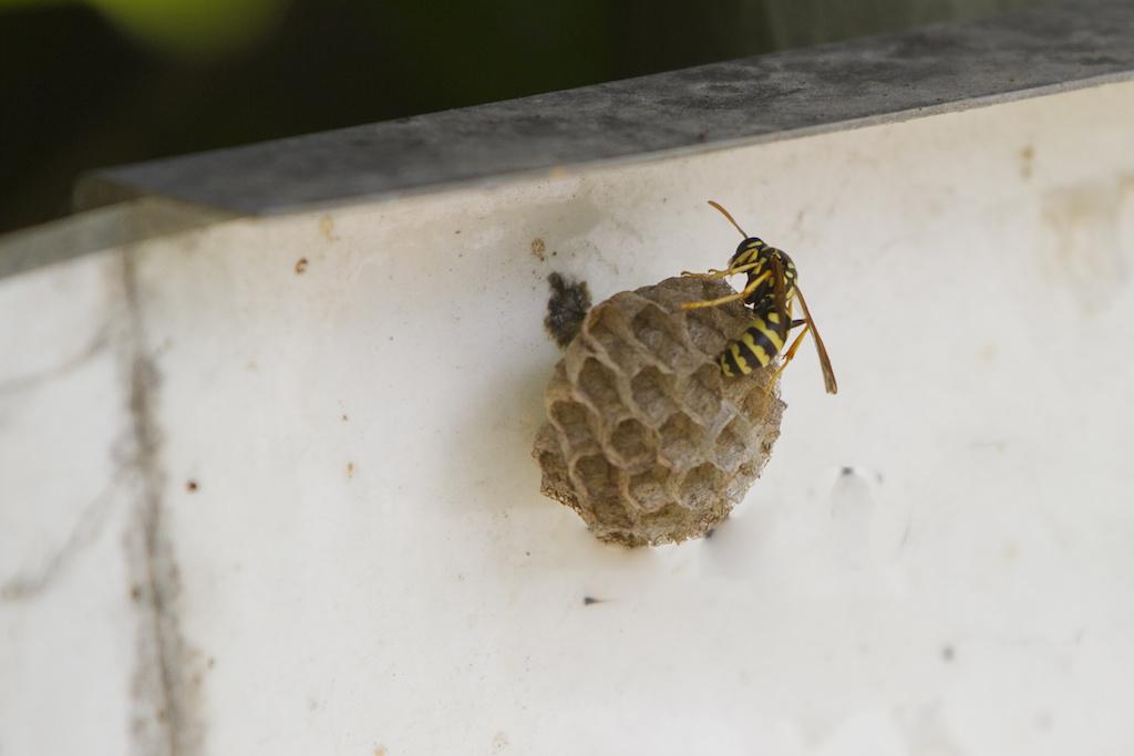 壁にできた小さい蜂の巣