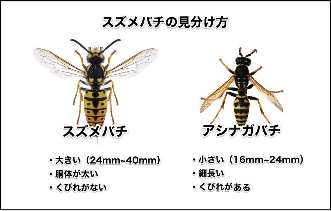 スズメバチは大きくて胴体が太く、くびれがない。アシナガバチは小さくて細長くてくびれがある。
