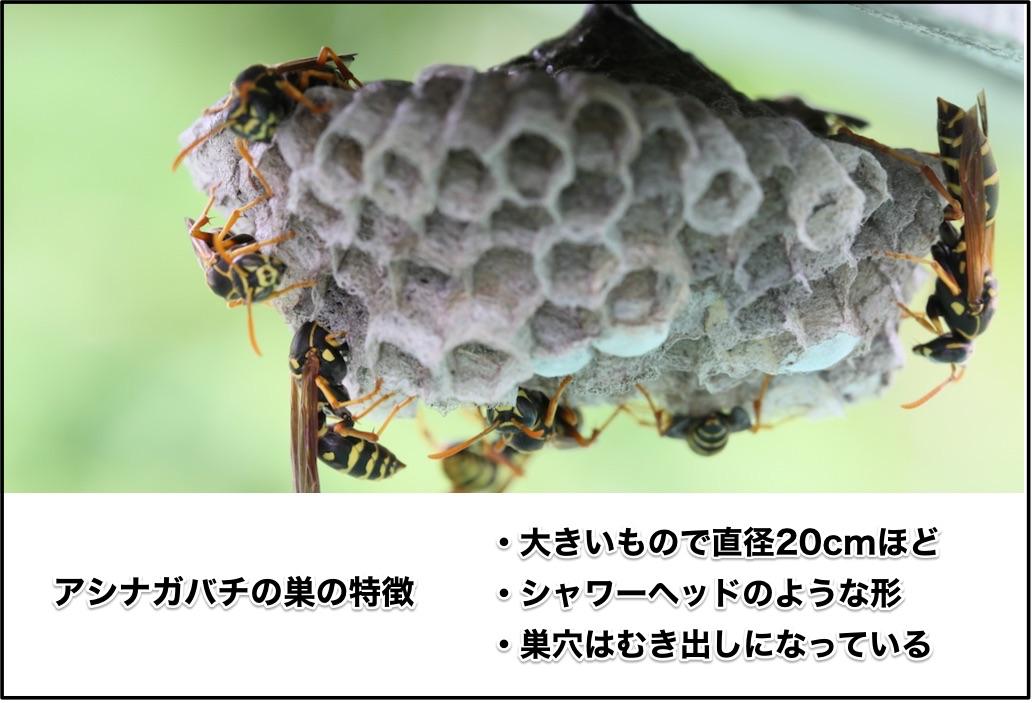 アシナガバチの巣の特徴は、大きくて直径20cmほど、シャワーヘッドのような形、むき出しの巣穴です。