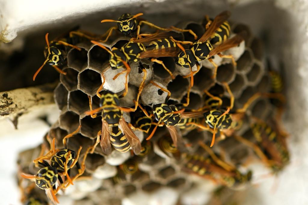 密集してるアシナガバチ