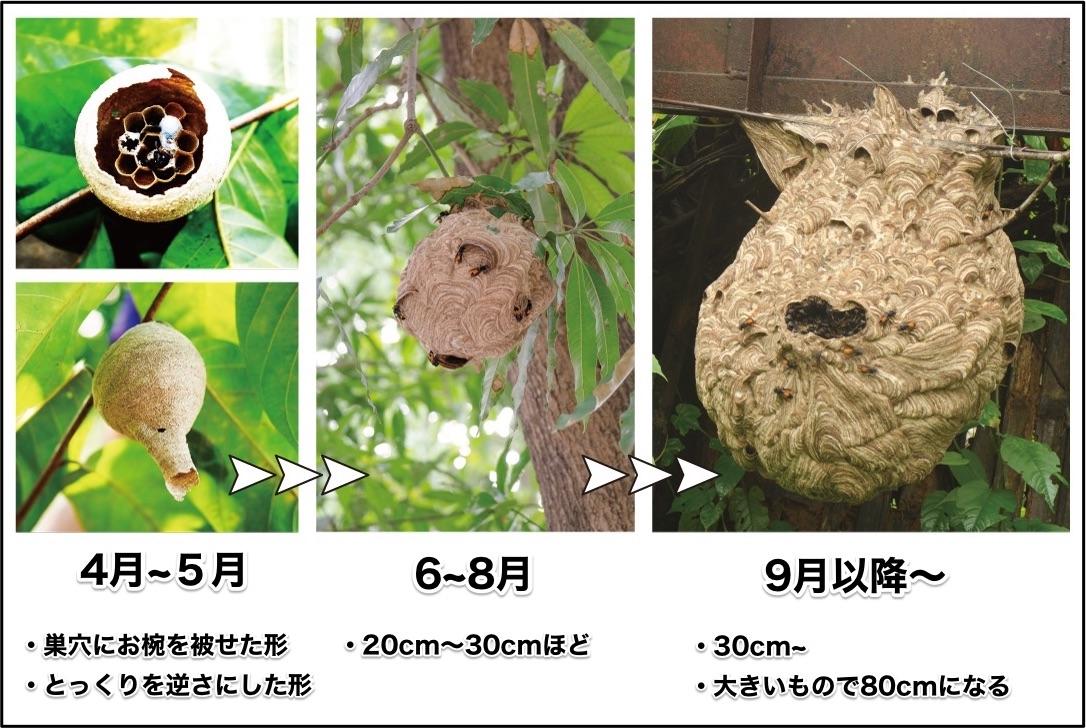 4月から5月は巣穴にお椀を被せた形、またはとっくりを逆さにした形。6月から8月は20cm〜30cmほど。9月以降は30cm以上になり、大きいものは80cm以上に。