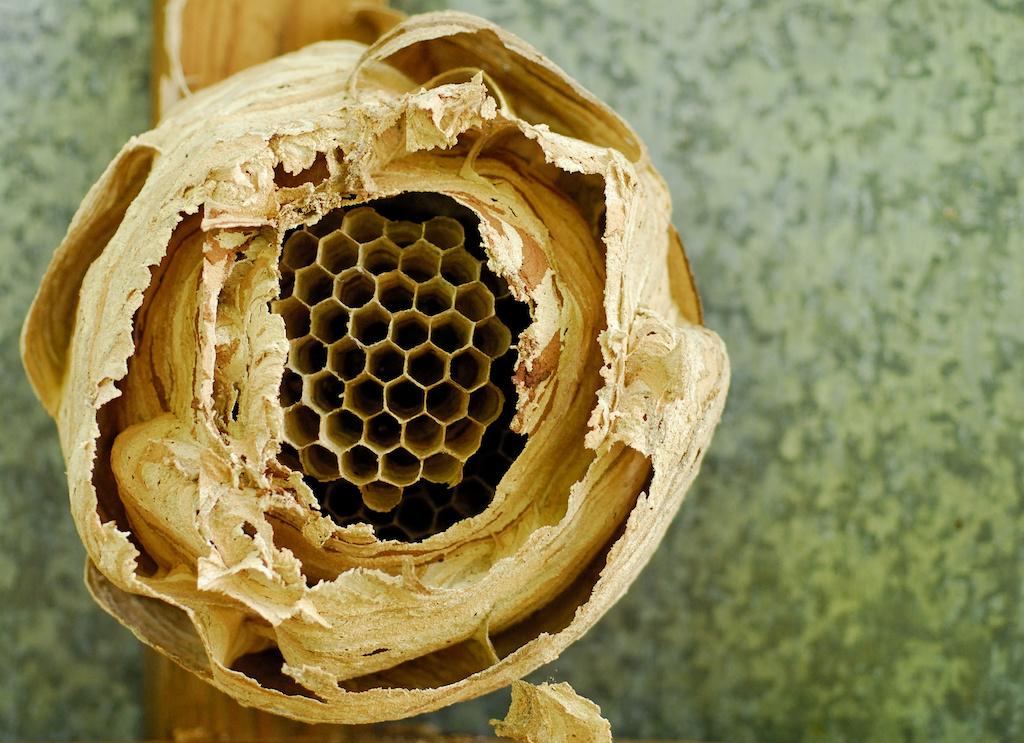 モンスズメバチの巣