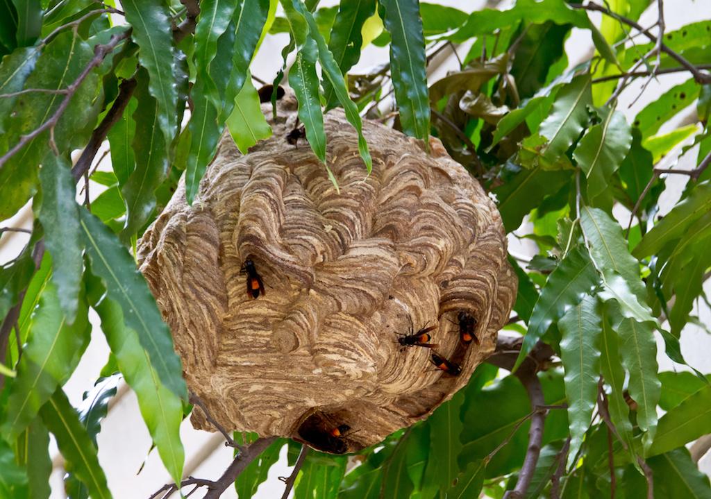 ツマグロスズメバチの巣